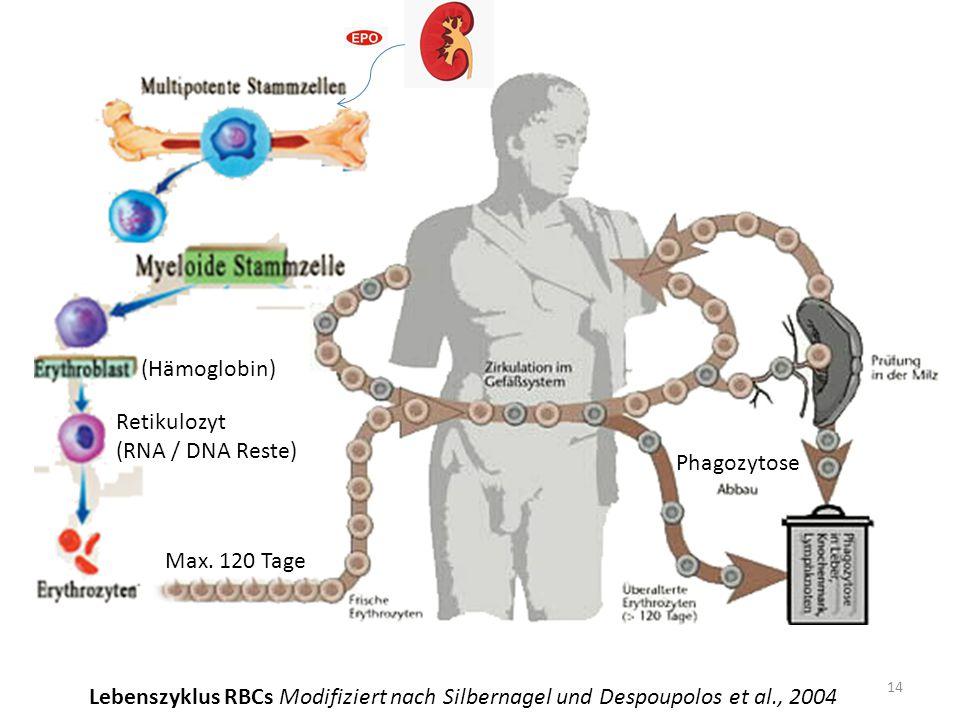 Retikulozyt (RNA / DNA Reste) (Hämoglobin) Phagozytose Max. 120 Tage 14 Lebenszyklus RBCs Modifiziert nach Silbernagel und Despoupolos et al., 2004