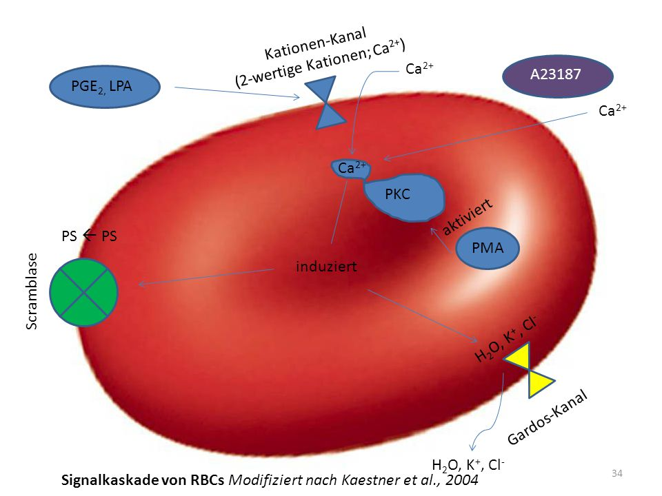 Kationen-Kanal (2-wertige Kationen; Ca 2+ ) PGE 2, LPA Ca 2+ Gardos-Kanal H 2 O, K +, Cl - Scramblase induziert PKC Ca 2+ A23187 Ca 2+ PS  PS 34 PMA aktiviert Signalkaskade von RBCs Modifiziert nach Kaestner et al., 2004