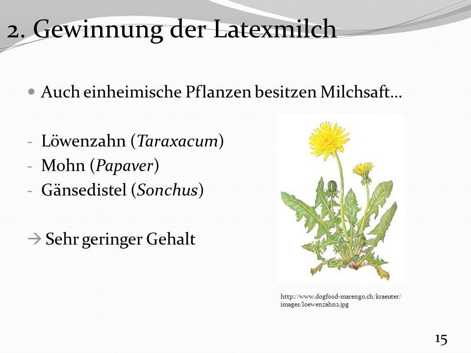 Auch einheimische Pflanzen besitzen Milchsaft… - Löwenzahn (Taraxacum) - Mohn (Papaver) - Gänsedistel (Sonchus)  Sehr geringer Gehalt 15 http://www.dogfood-marengo.ch/kraeuter/ images/loewenzahn2.jpg 2.
