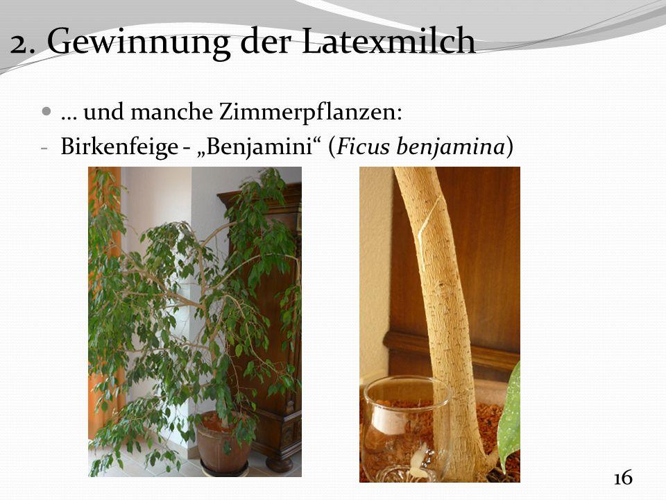 "… und manche Zimmerpflanzen: - Birkenfeige - ""Benjamini (Ficus benjamina) 16 2."