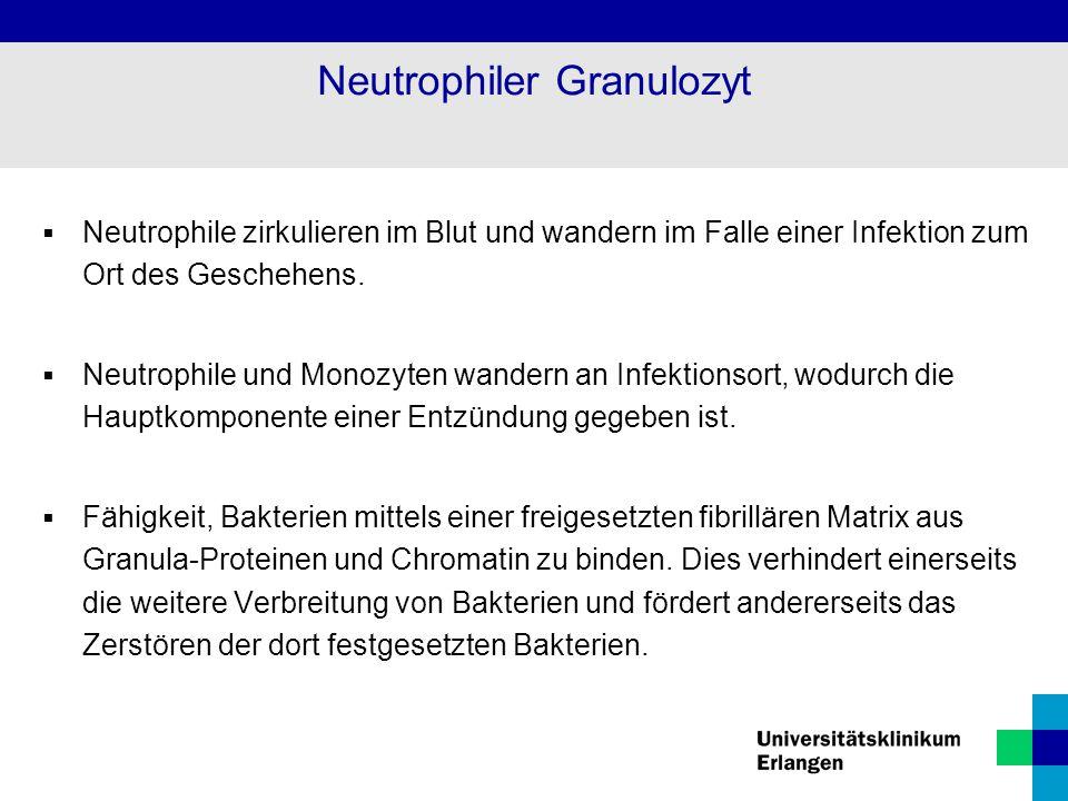 Neutrophiler Granulozyt  Neutrophile zirkulieren im Blut und wandern im Falle einer Infektion zum Ort des Geschehens.  Neutrophile und Monozyten wan