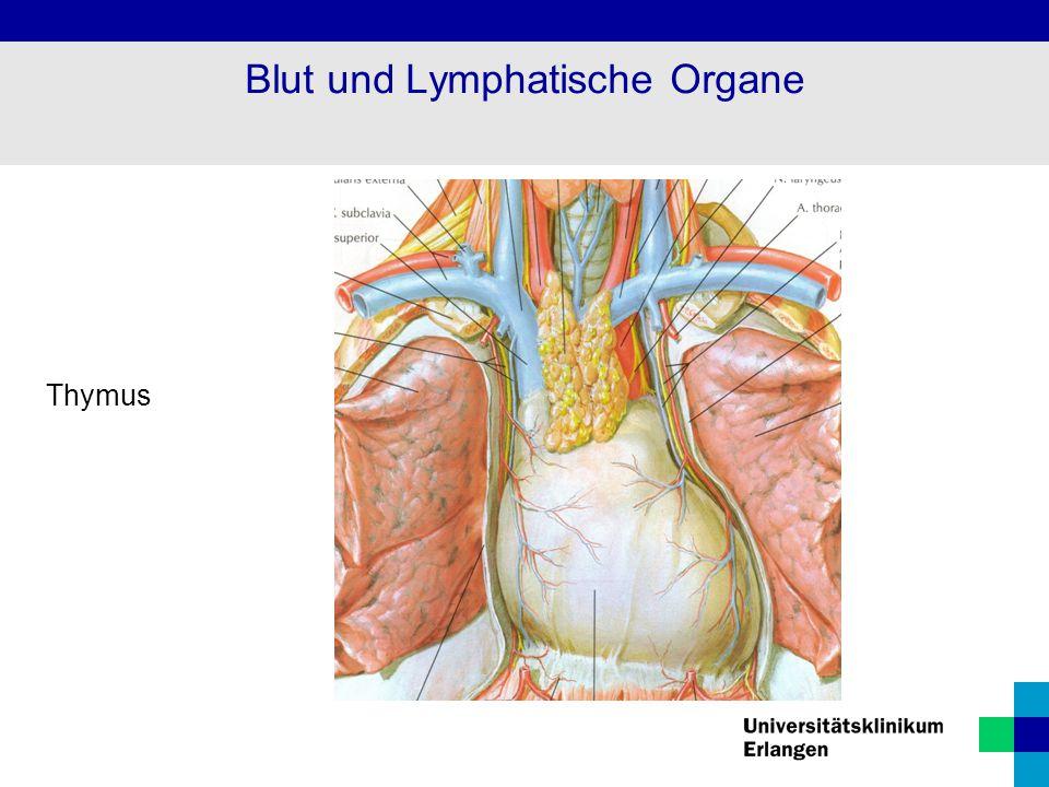Thymus Blut und Lymphatische Organe