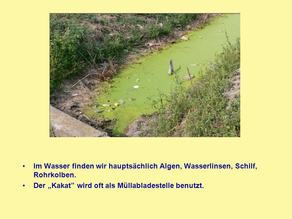 """Im Wasser finden wir hauptsächlich Algen, Wasserlinsen, Schilf, Rohrkolben. Der """"Kakat"""" wird oft als Müllabladestelle benutzt."""
