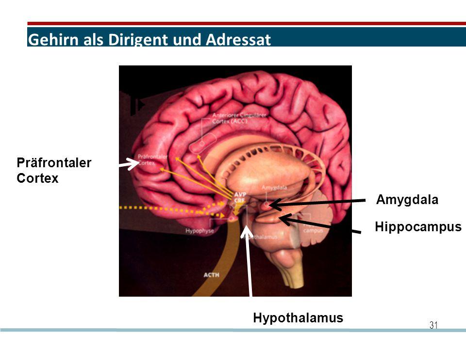 Gehirn als Dirigent und Adressat 31 Amygdala Hippocampus Präfrontaler Cortex Hypothalamus