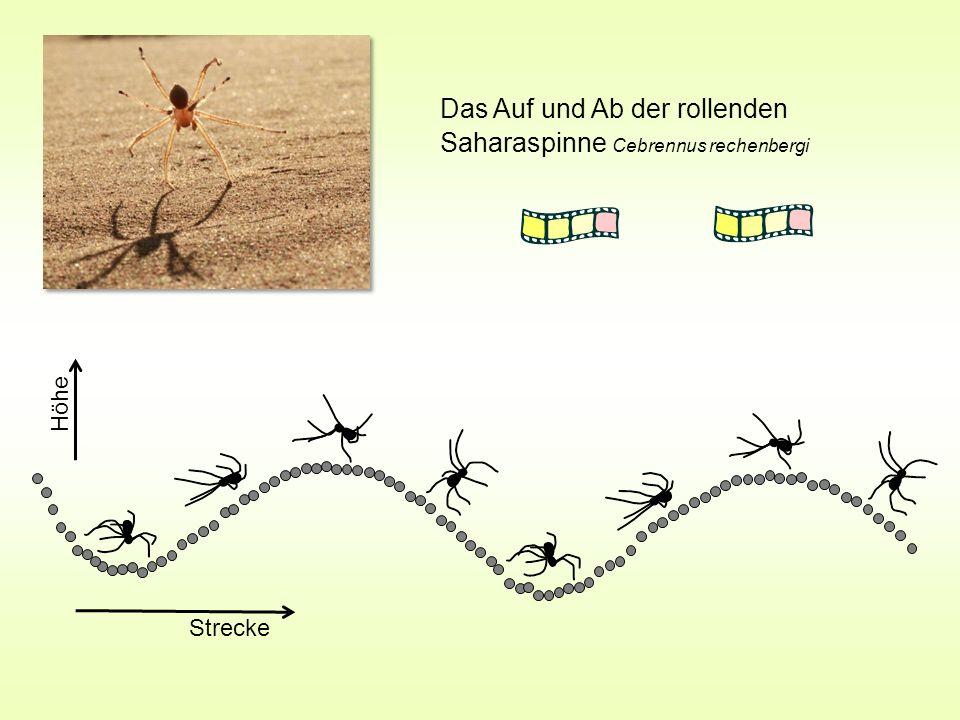 Das Auf und Ab der rollenden Saharaspinne Cebrennus rechenbergi Höhe Strecke