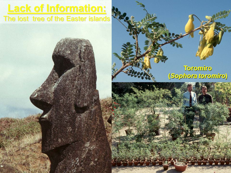 Lack of Information: The lost tree of the Easter islands Toromiro (Sophora toromiro)