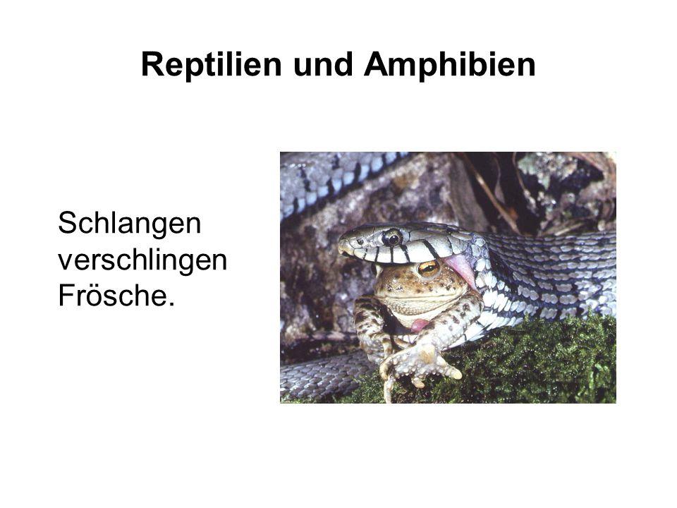 Reptilien und Amphibien Schlangen verschlingen Frösche.