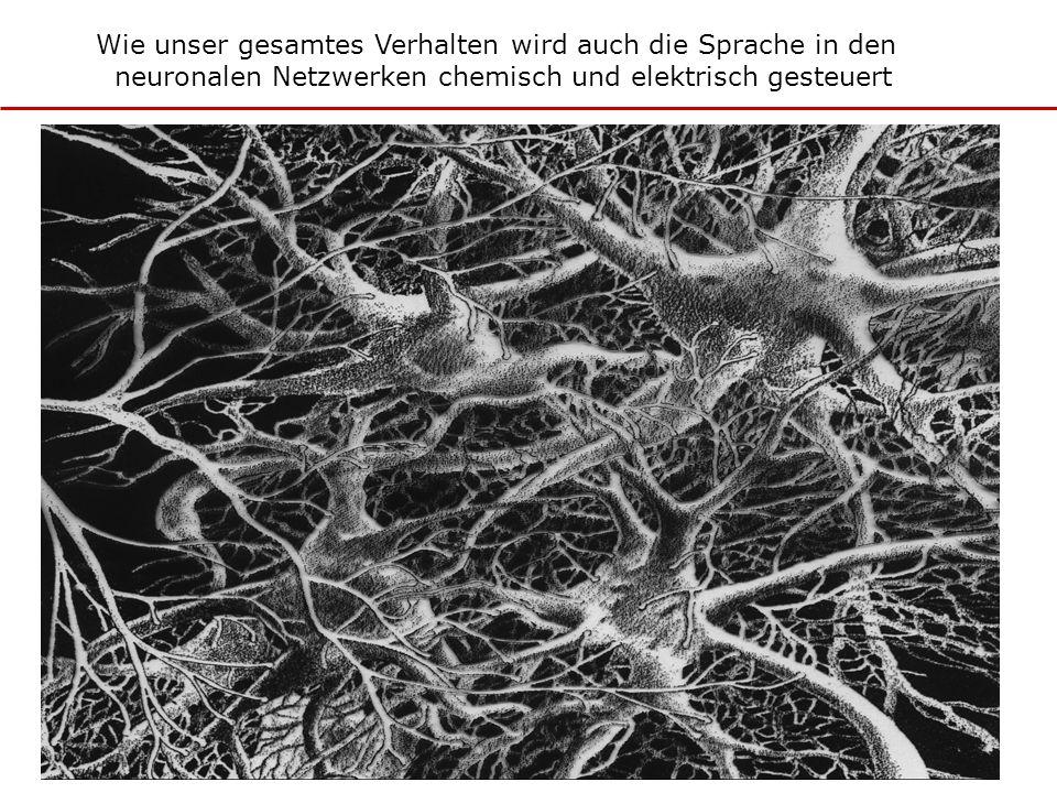 Wie unser gesamtes Verhalten wird auch die Sprache in den neuronalen Netzwerken chemisch und elektrisch gesteuert