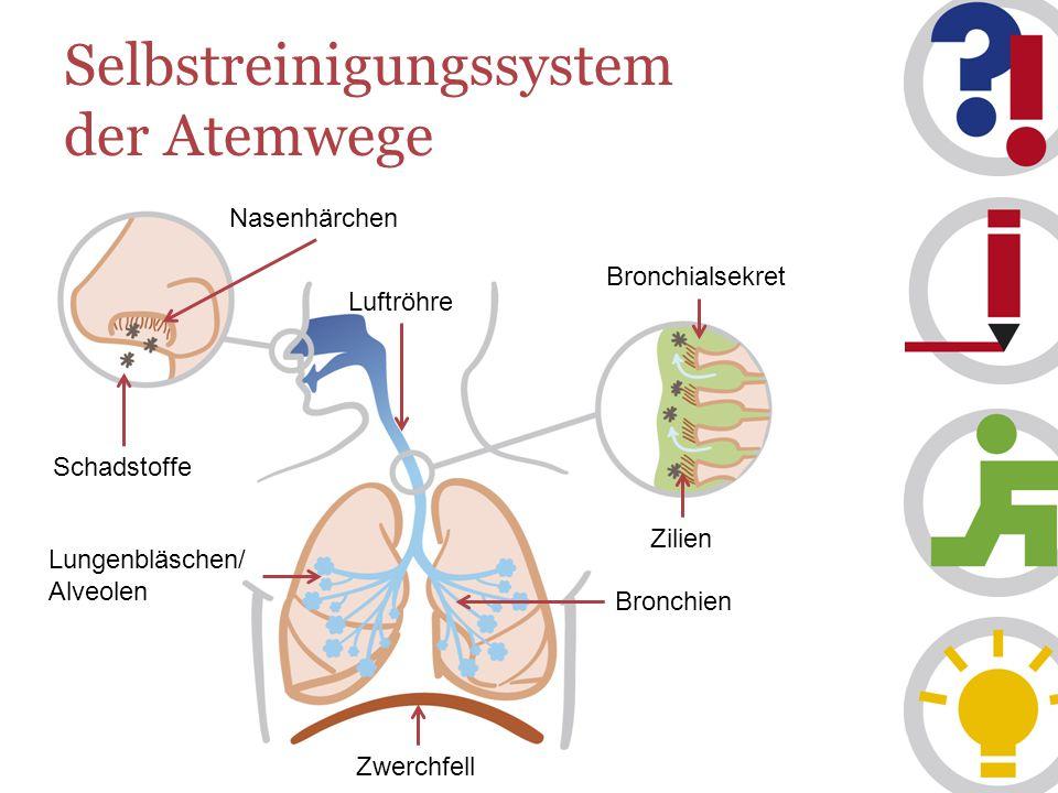 Selbstreinigungssystem der Atemwege Luftröhre Schadstoffe Nasenhärchen Bronchialsekret Zilien Bronchien Zwerchfell Lungenbläschen/ Alveolen