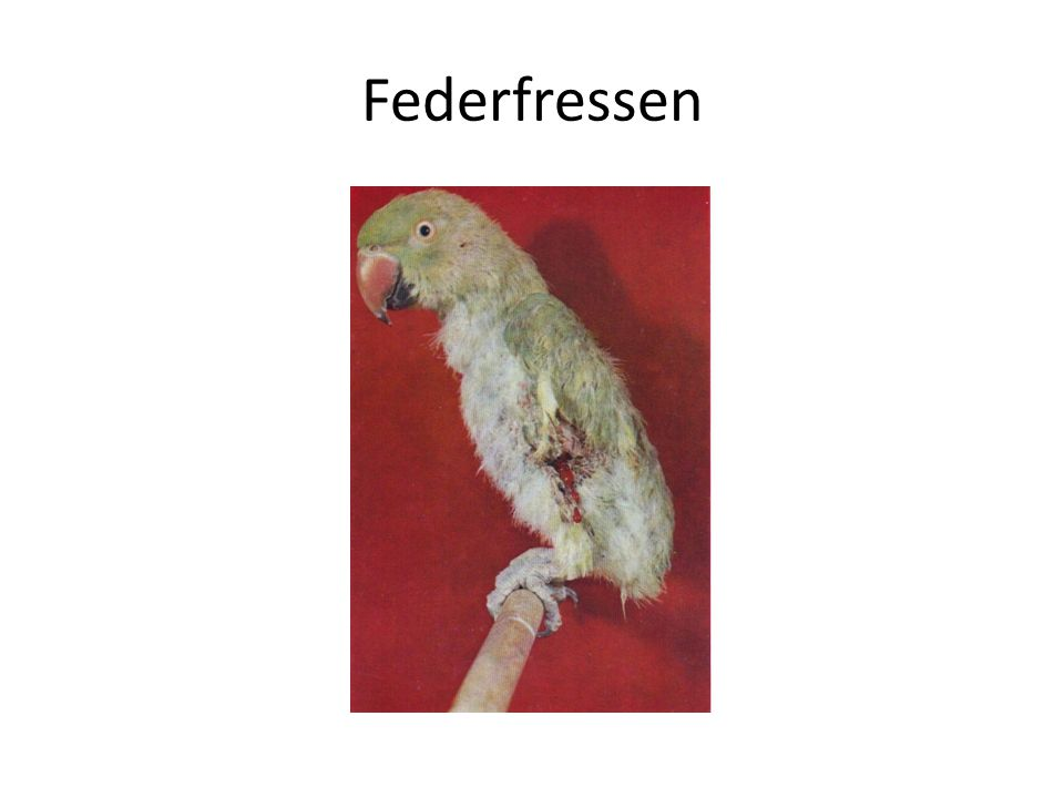 Federfressen