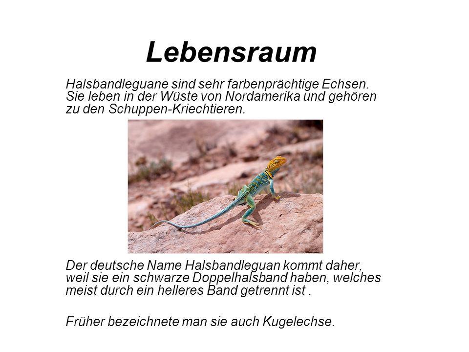 Lebensraum Halsbandleguane sind sehr farbenprächtige Echsen. Sie leben in der Wüste von Nordamerika und gehören zu den Schuppen-Kriechtieren. Der deut