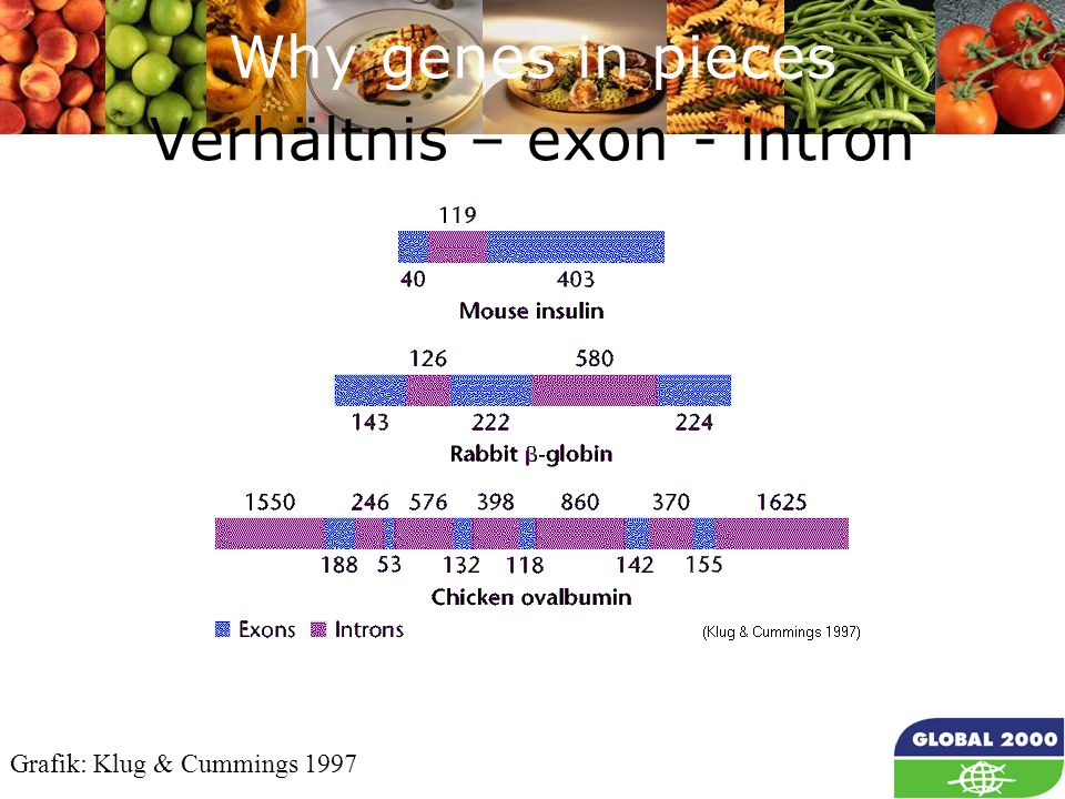 28 Why genes in pieces Verhältnis – exon - intron Grafik: Klug & Cummings 1997