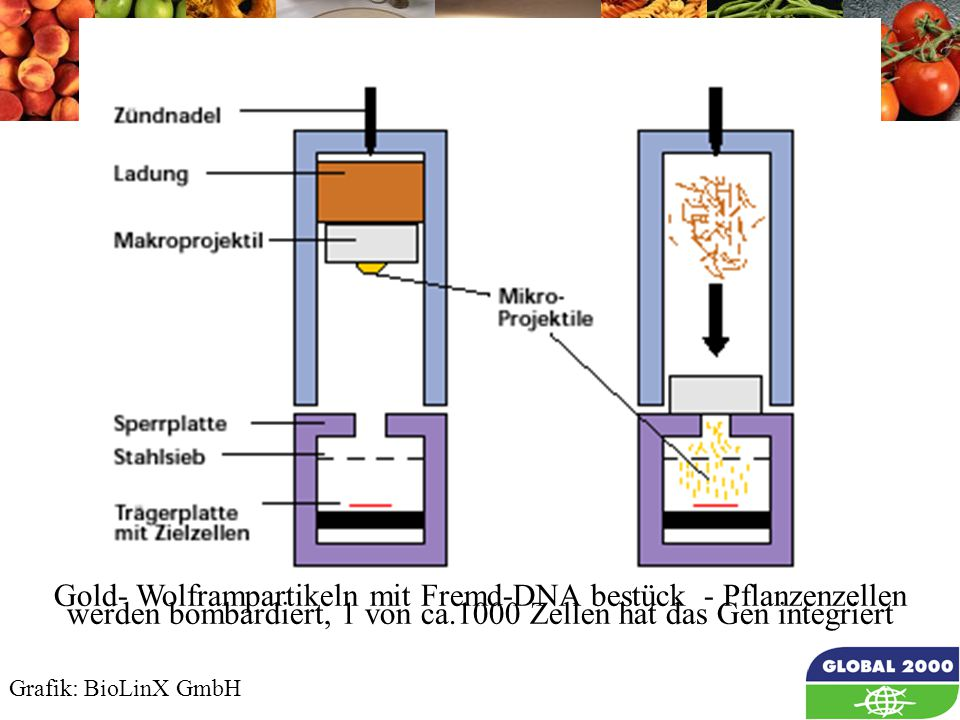 31 Partikel Gun Gold- Wolframpartikeln mit Fremd-DNA bestück - Pflanzenzellen werden bombardiert, 1 von ca.1000 Zellen hat das Gen integriert Grafik: BioLinX GmbH