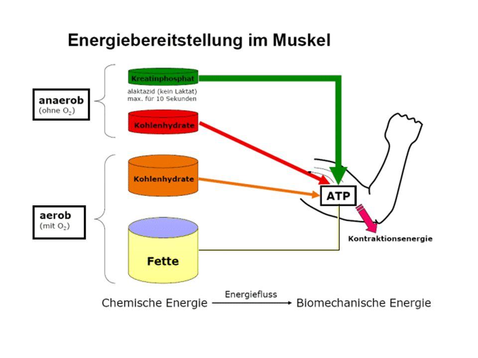 ATP Muskelzellen benötigen zur Kontraktion ATP (Adenosintriphosphat).