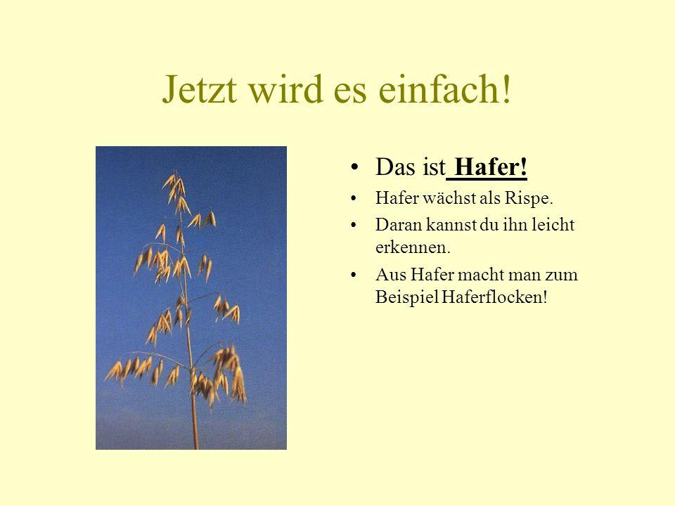 Getreidekörner 1 Gerste Hafer Roggen