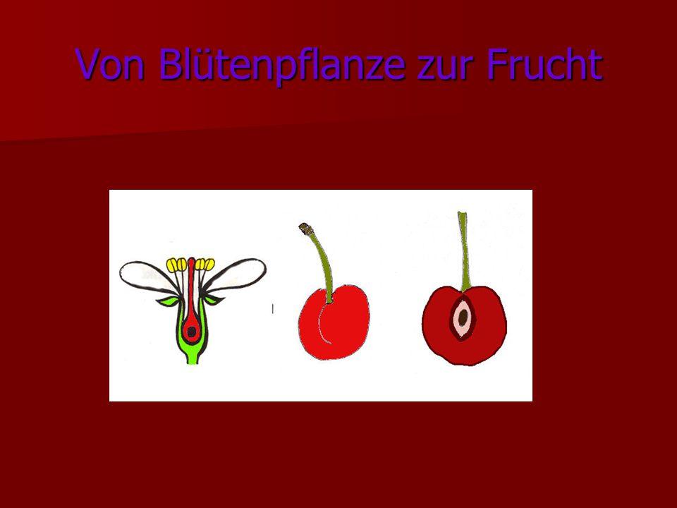 Von Blütenpflanze zur Frucht