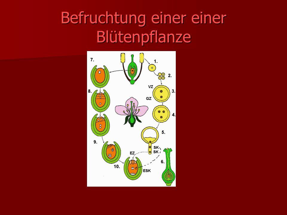 Befruchtung einer einer Blütenpflanze