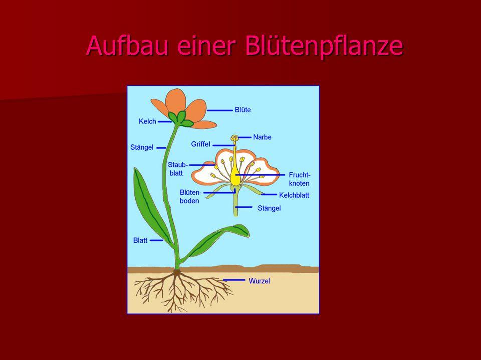 Aufbau einer Blütenpflanze