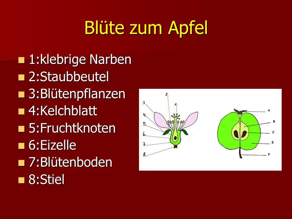 Blüte zum Apfel 1:klebrige Narben 2:Staubbeutel 3:Blütenpflanzen 4:Kelchblatt 5:Fruchtknoten 6:Eizelle 7:Blütenboden 8:Stiel