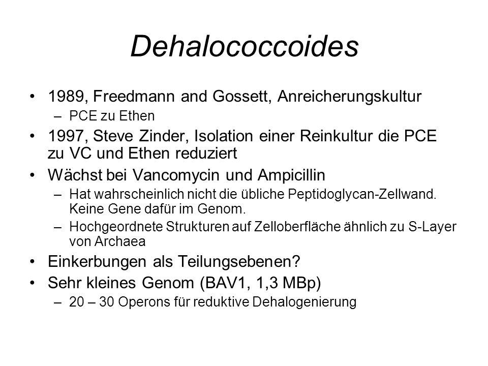 Dehalococcoides 1989, Freedmann and Gossett, Anreicherungskultur –PCE zu Ethen 1997, Steve Zinder, Isolation einer Reinkultur die PCE zu VC und Ethen