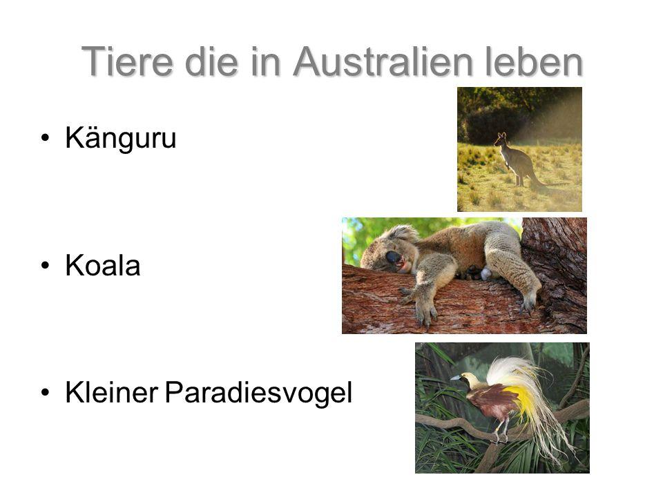 Tiere die in Australien leben Känguru Koala Kleiner Paradiesvogel