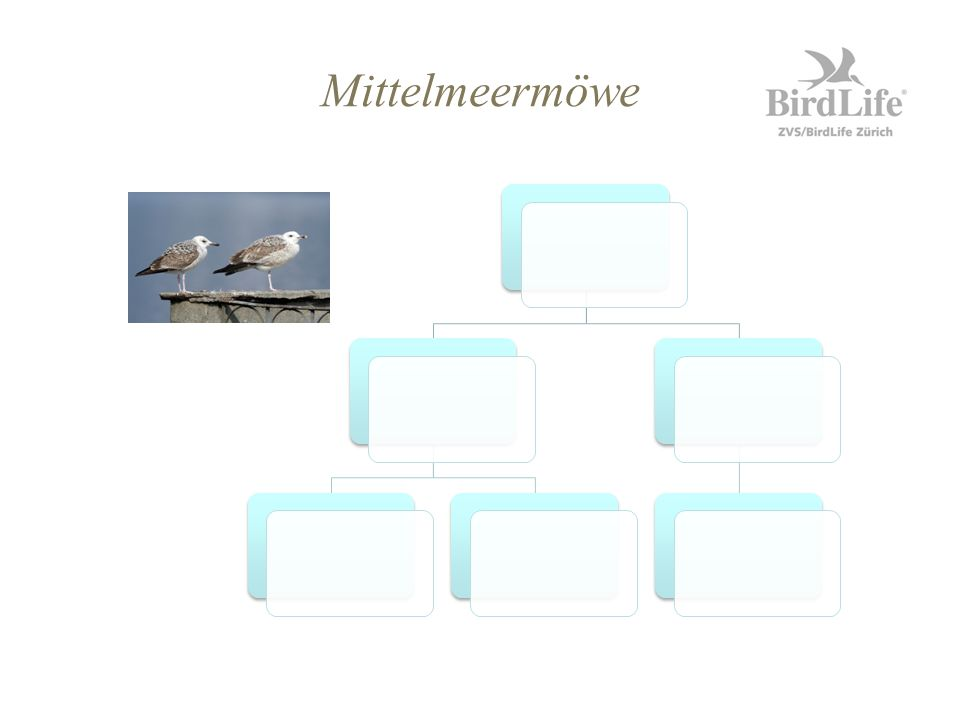 Mittelmeermöwe