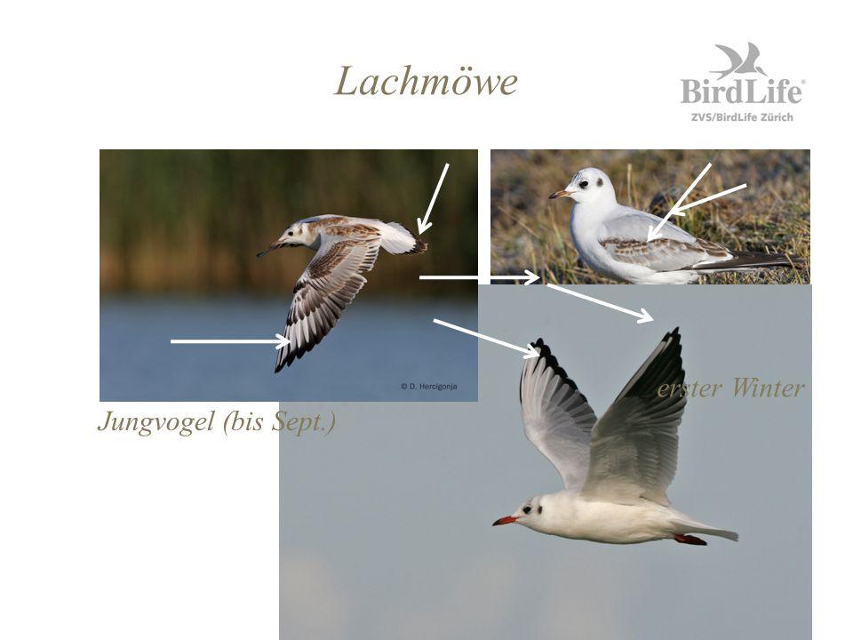 Lachmöwe Jungvogel (bis Sept.) erster Winter