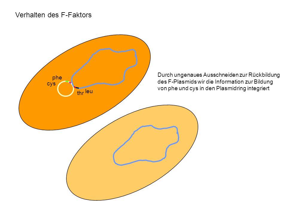 Verhalten des F-Faktors phe cys leu thr Durch ungenaues Ausschneiden zur Rückbildung des F-Plasmids wir die Information zur Bildung von phe und cys in
