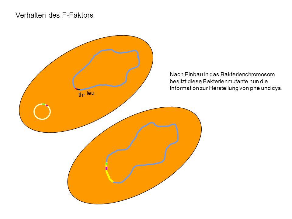 Verhalten des F-Faktors leu thr Nach Einbau in das Bakterienchromosom besitzt diese Bakterienmutante nun die Information zur Herstellung von phe und c