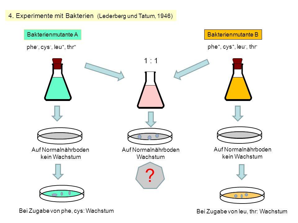4. Experimente mit Bakterien (Lederberg und Tatum, 1946) Bakterienmutante A phe -, cys -, leu +, thr + phe +, cys +, leu -, thr - Bakterienmutante B A