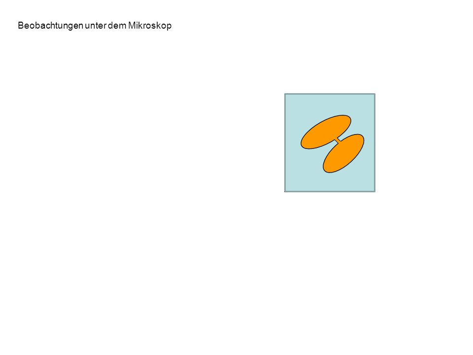 Beobachtungen unter dem Mikroskop B: Bakterien können untereinander über eine Plasmabrücke (Sexpilus) in Kontakt treten Die Fähigkeit eine Plasmabrück