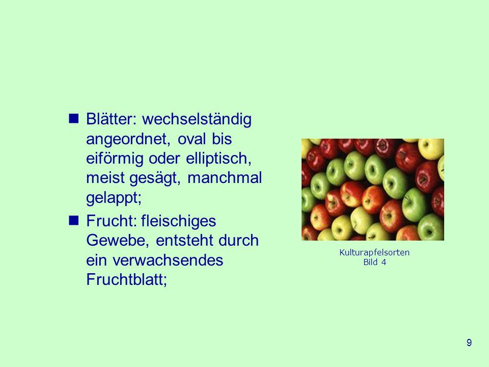 9 Blätter: wechselständig angeordnet, oval bis eiförmig oder elliptisch, meist gesägt, manchmal gelappt; Frucht: fleischiges Gewebe, entsteht durch ein verwachsendes Fruchtblatt; Kulturapfelsorten Bild 4