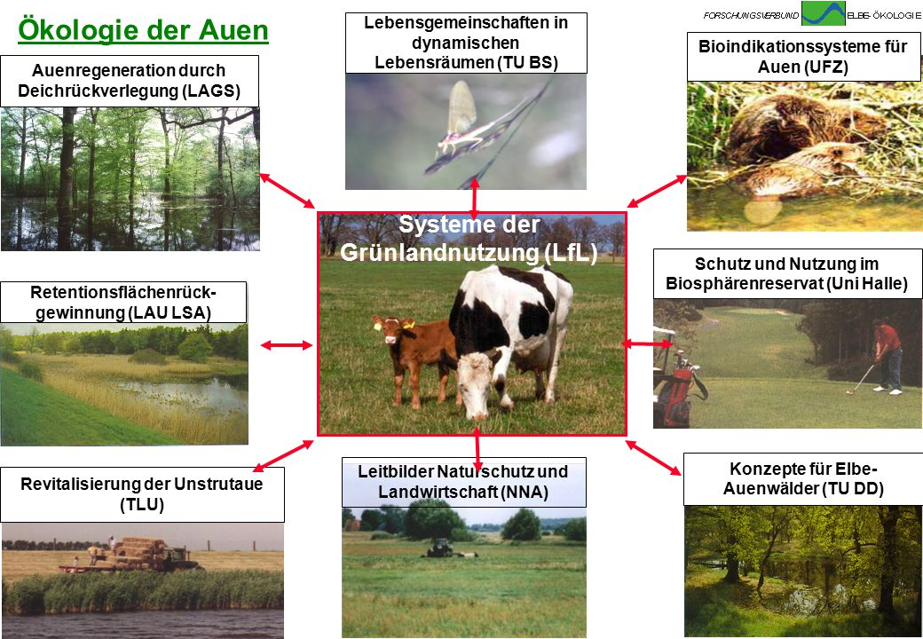 Bundesanstalt für Gewässerkunde Projektgruppe Elbe-Ökologie PG-Elbe@bafg.de Ökologie der Auen Retentionsflächenrück- gewinnung (LAU LSA) Auenregenerat