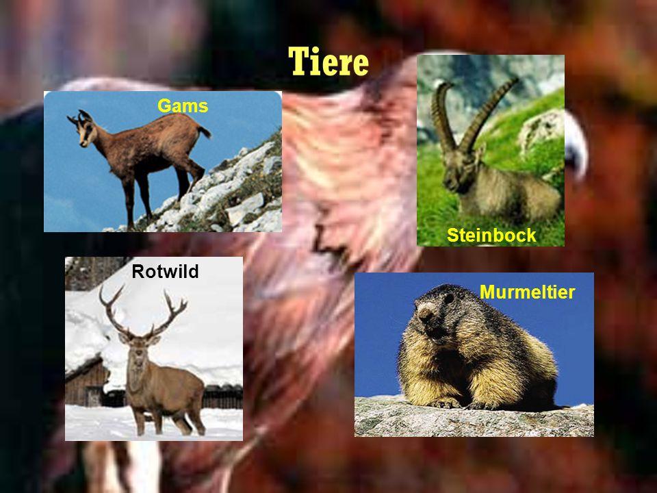 Tiere Gams Steinbock Rotwild Murmeltier
