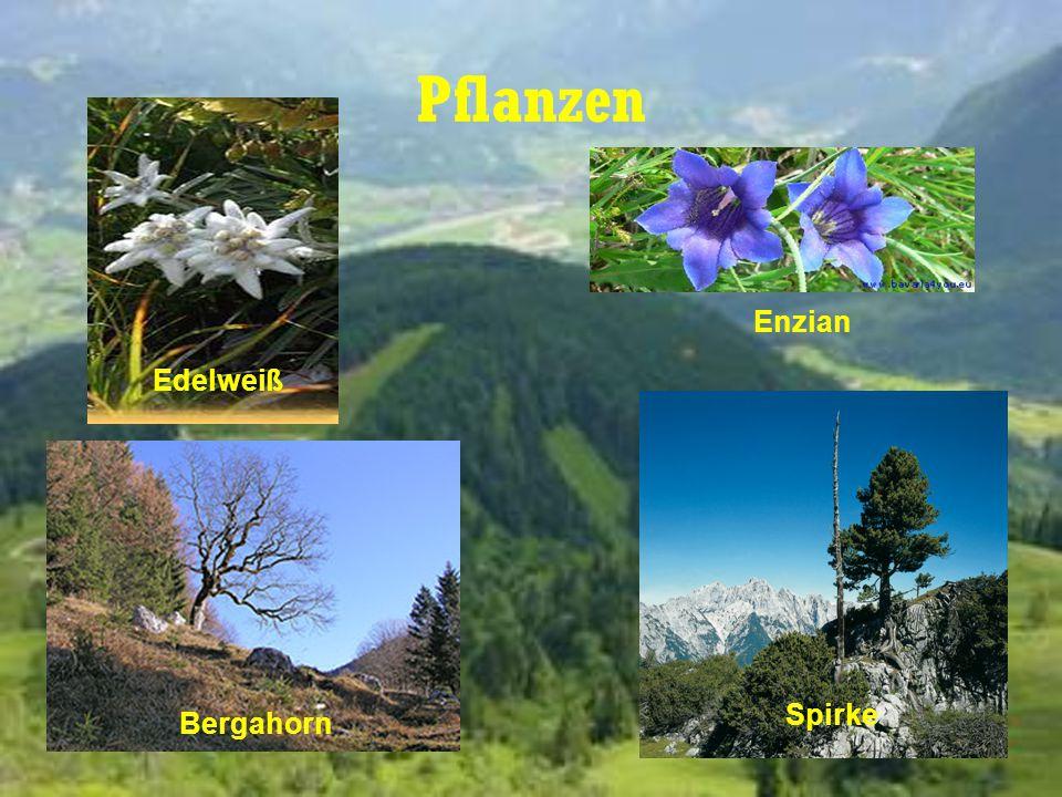 Pflanzen Edelweiß Enzian Bergahorn Spirke