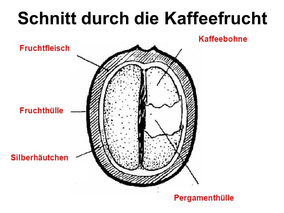 Werner Schalko6 Die wesentlichen Bestandteile einer Kaffeebohne Inhaltsstoffe Anteil in der Kaffeebohne z.B.