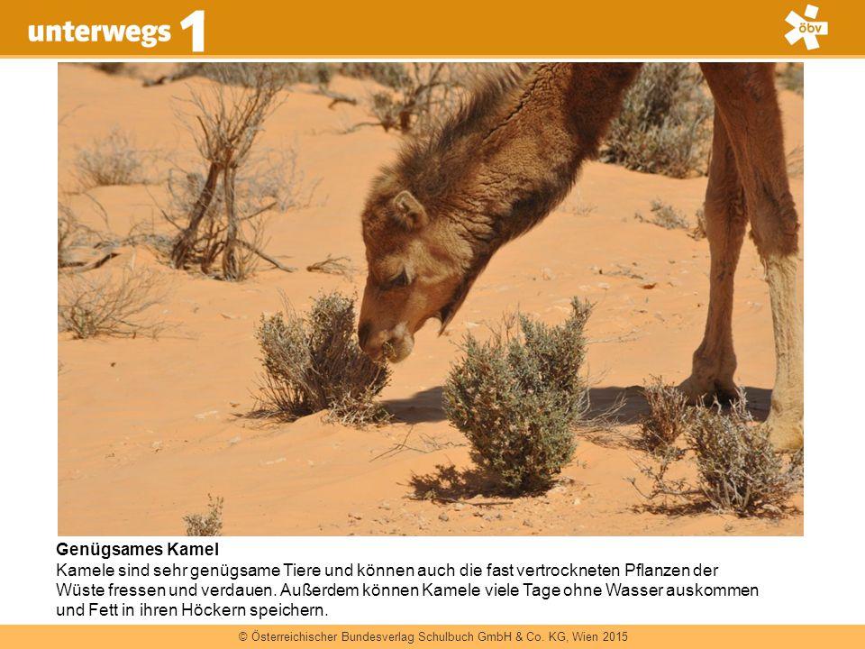 © Österreichischer Bundesverlag Schulbuch GmbH & Co. KG, Wien 2015 Genügsames Kamel Kamele sind sehr genügsame Tiere und können auch die fast vertrock