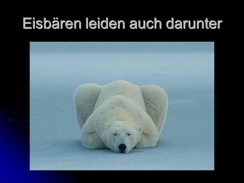 Eisbären leiden auch darunter
