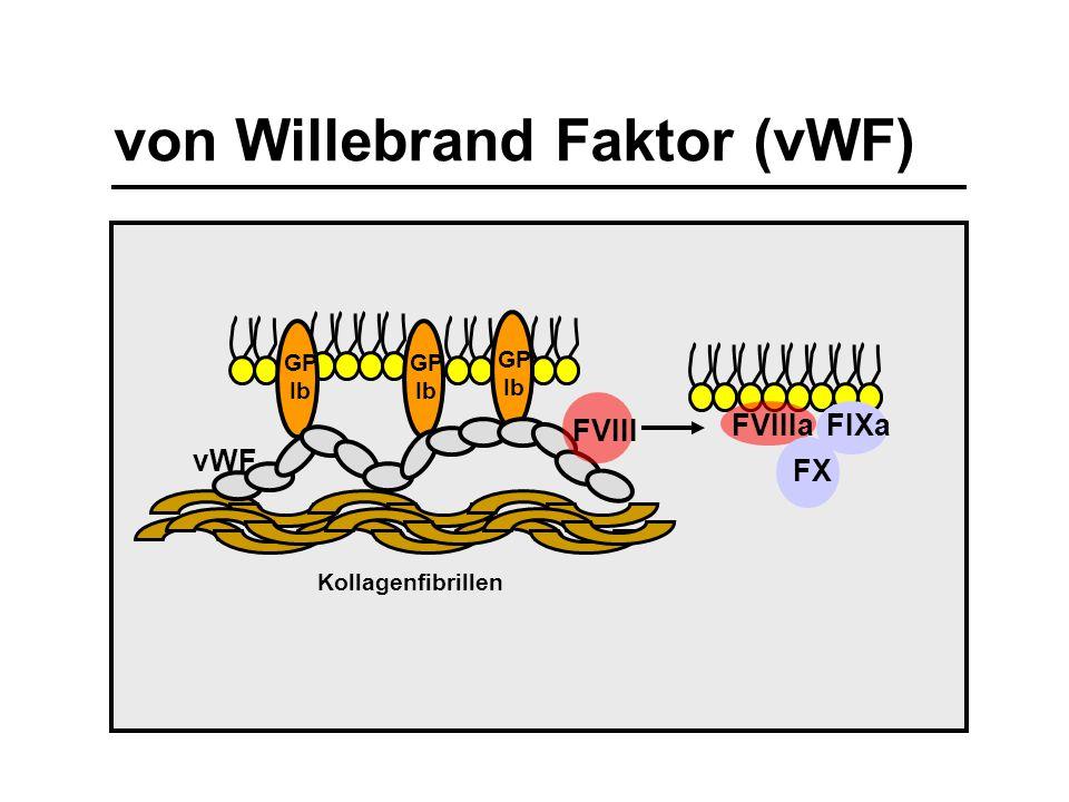 GP Ib Kollagenfibrillen vWF GP Ib GP Ib von Willebrand Faktor (vWF) FVIII FVIIIaFIXa FX