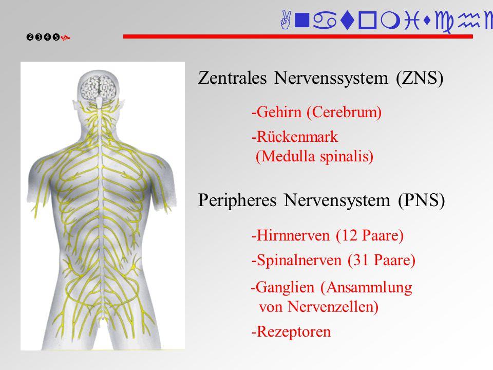  Gehirn Großhirn Limbisches System Zwischenhirn Thalamus Hypothalamus Mittelhirn Brücke (Pons) Kleinhirn (Cerebellum) Verlängertes Mark (Medulla oblongata) Rückenmark (Medulla spinalis) Hypophyse Anatomische Einteilung Gehirn
