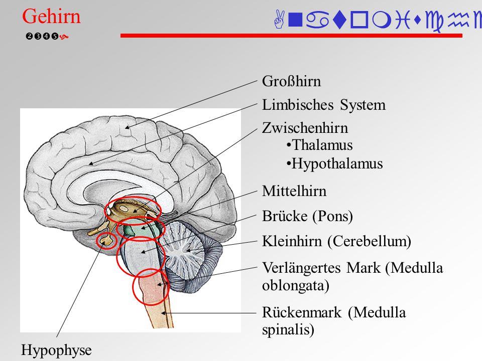  Schädelknochen Gehirn Dura mater (harte Hirnhaut) Arachnoidea mater (Spinngewebshaut) Pia mater (weiche Hirnhaut) Subarachnoidalraum Hirnhäute (schematisch) Anatomische Einteilung Gehirn