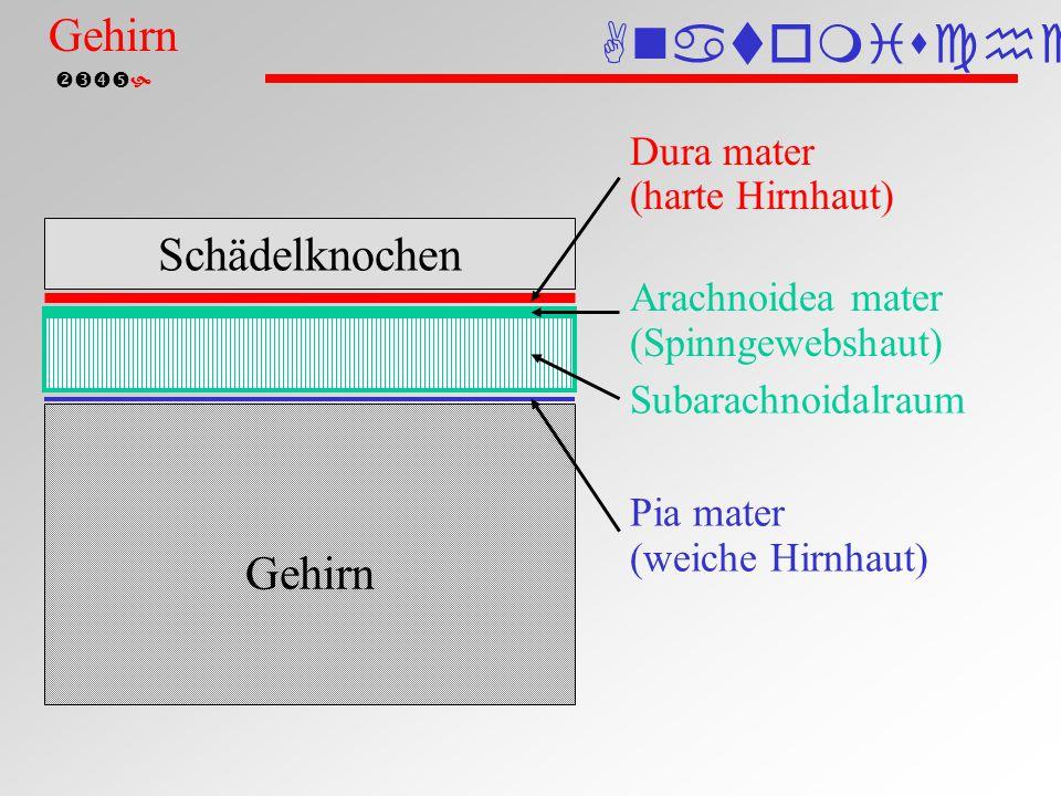  Epidurale Blutung Schädelknochen Gehirn Epidurale Blutung Anatomische Einteilung Gehirn