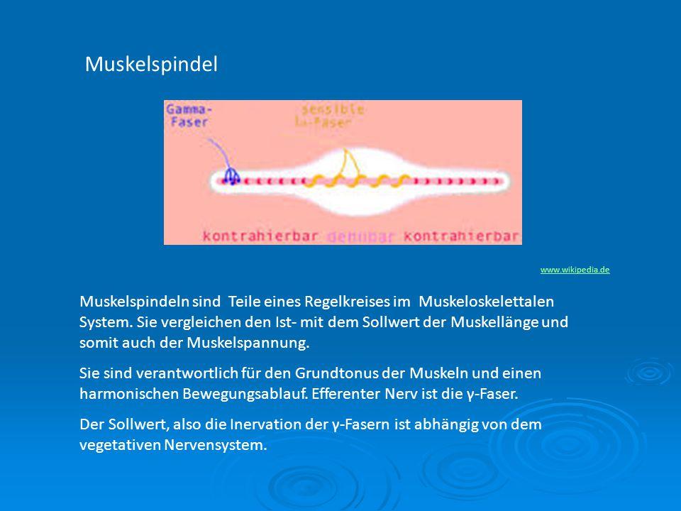 Muskelspindel www.wikipedia.de Muskelspindeln sind Teile eines Regelkreises im Muskeloskelettalen System. Sie vergleichen den Ist- mit dem Sollwert de