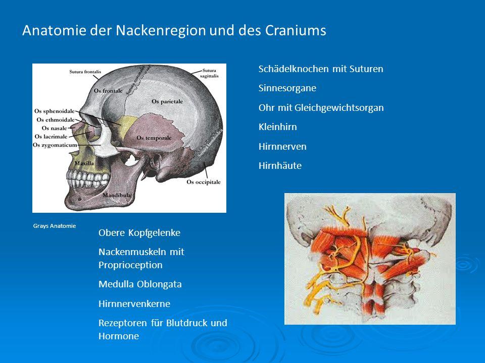 Anatomie der Nackenregion und des Craniums Schädelknochen mit Suturen Sinnesorgane Ohr mit Gleichgewichtsorgan Kleinhirn Hirnnerven Hirnhäute Obere Ko
