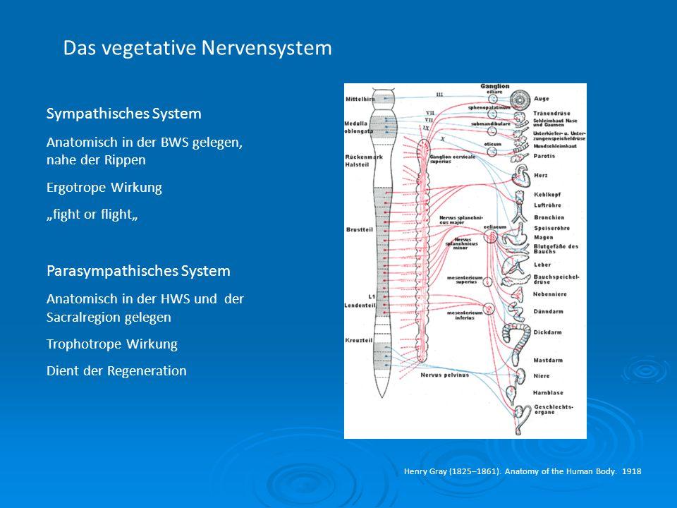Das vegetative Nervensystem Henry Gray (1825–1861). Anatomy of the Human Body. 1918 Sympathisches System Anatomisch in der BWS gelegen, nahe der Rippe