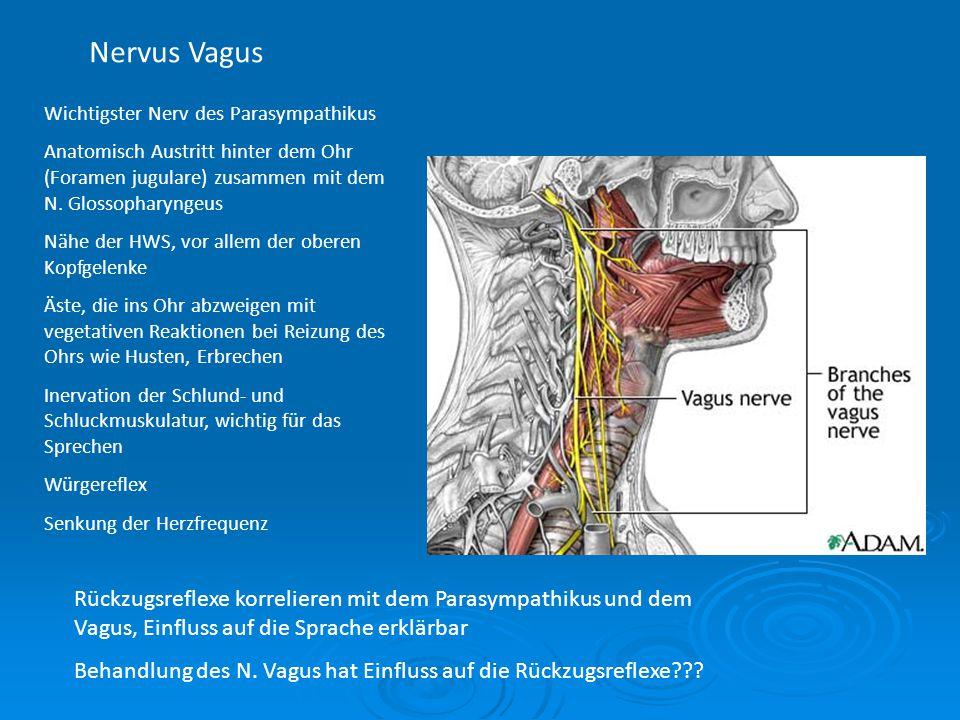 Nervus Vagus Wichtigster Nerv des Parasympathikus Anatomisch Austritt hinter dem Ohr (Foramen jugulare) zusammen mit dem N. Glossopharyngeus Nähe der