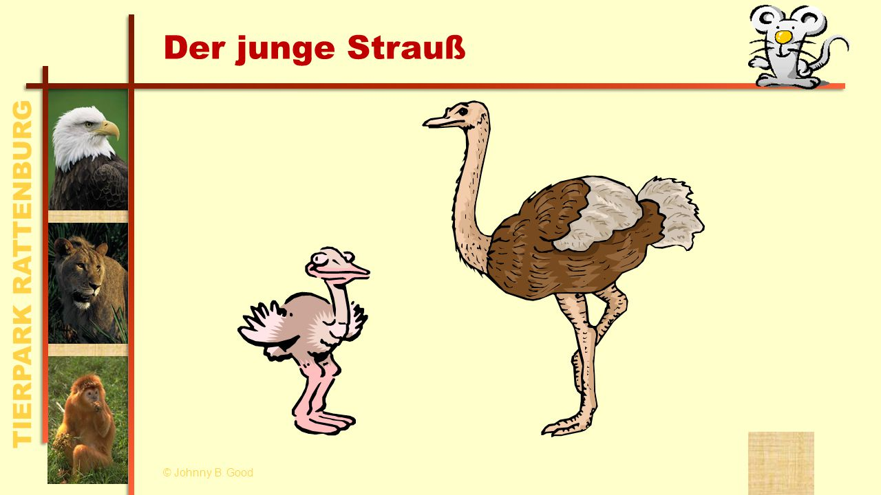 TIERPARK RATTENBURG Der junge Strauß © Johnny B. Good