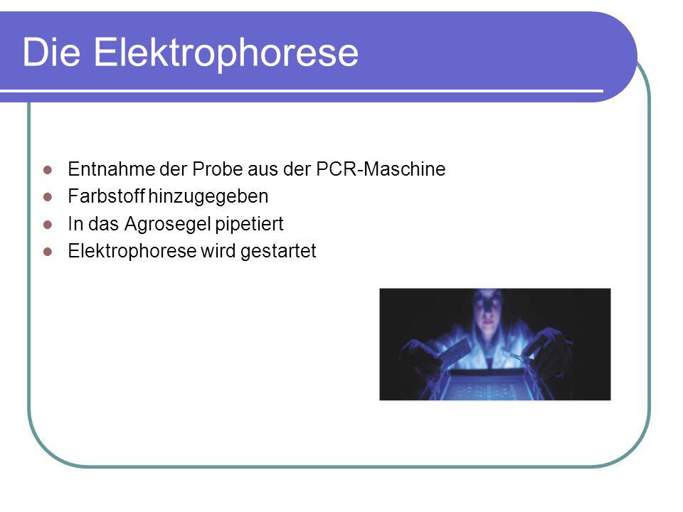 Die Elektrophorese Entnahme der Probe aus der PCR-Maschine Farbstoff hinzugegeben In das Agrosegel pipetiert Elektrophorese wird gestartet