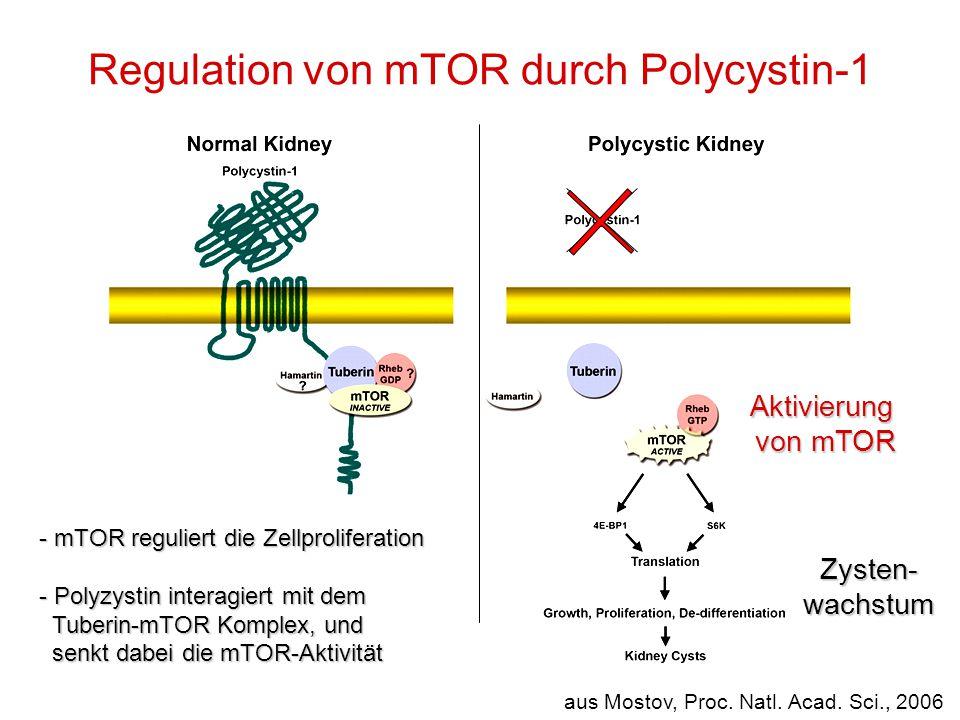 Regulation von mTOR durch Polycystin-1 aus Mostov, Proc. Natl. Acad. Sci., 2006 - mTOR reguliert die Zellproliferation - Polyzystin interagiert mit de