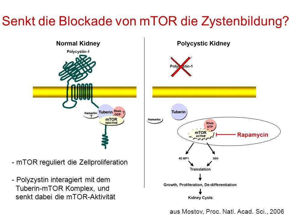 Senkt die Blockade von mTOR die Zystenbildung? aus Mostov, Proc. Natl. Acad. Sci., 2006 - mTOR reguliert die Zellproliferation - Polyzystin interagier
